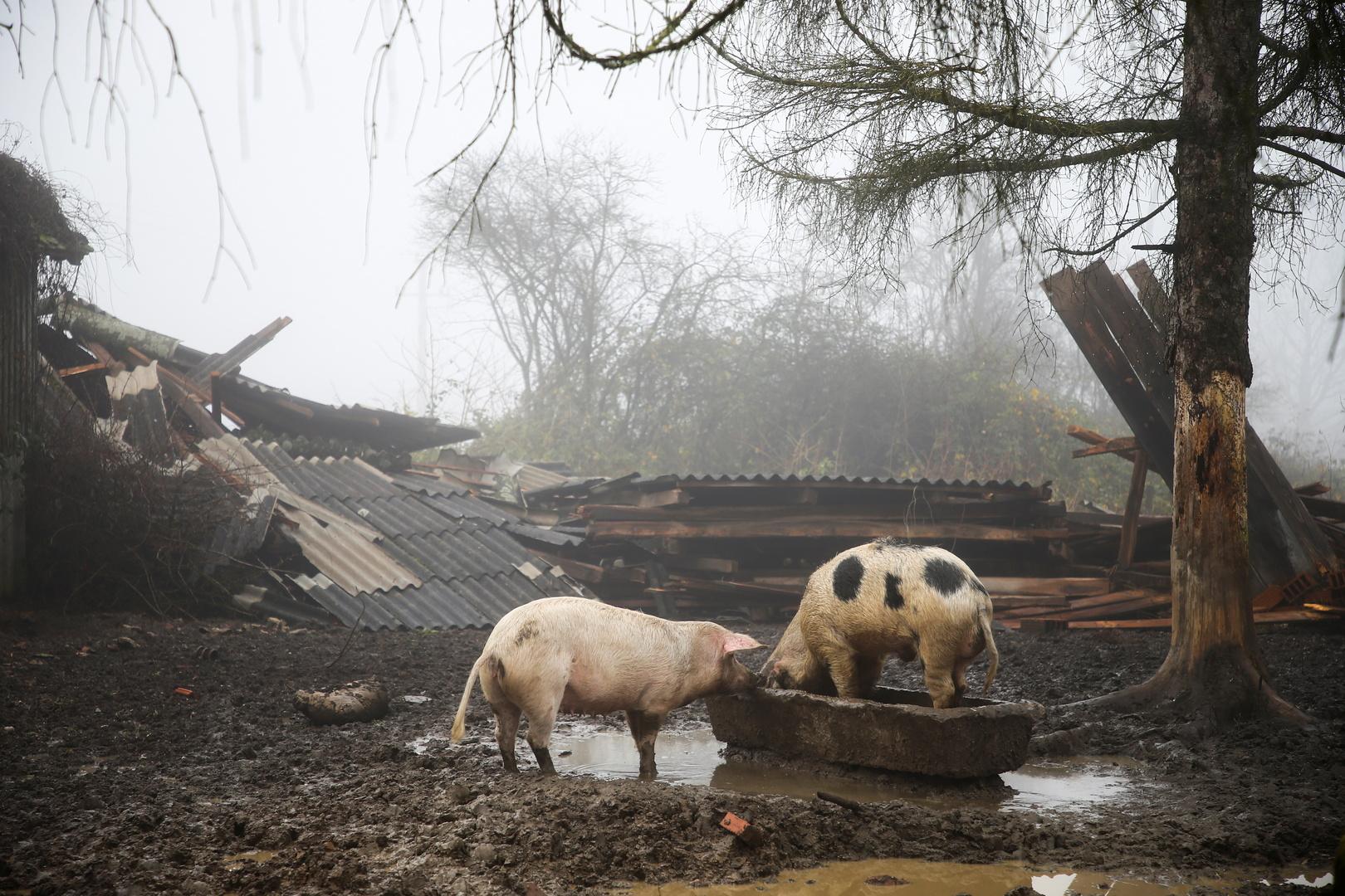 انتشار غير مسبوق للخنازير في مدينة تونسية