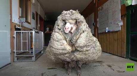 شاهد.. العثور على خروف ضائع  يحمل 35 كيلوغراما من الصوف