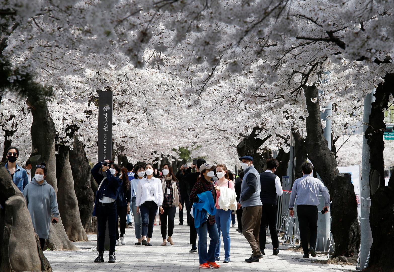 مواطنون يسيرون  بالقرب من شارع أزهار الكرز في العاصمة الكورية الجنوبية سيئول