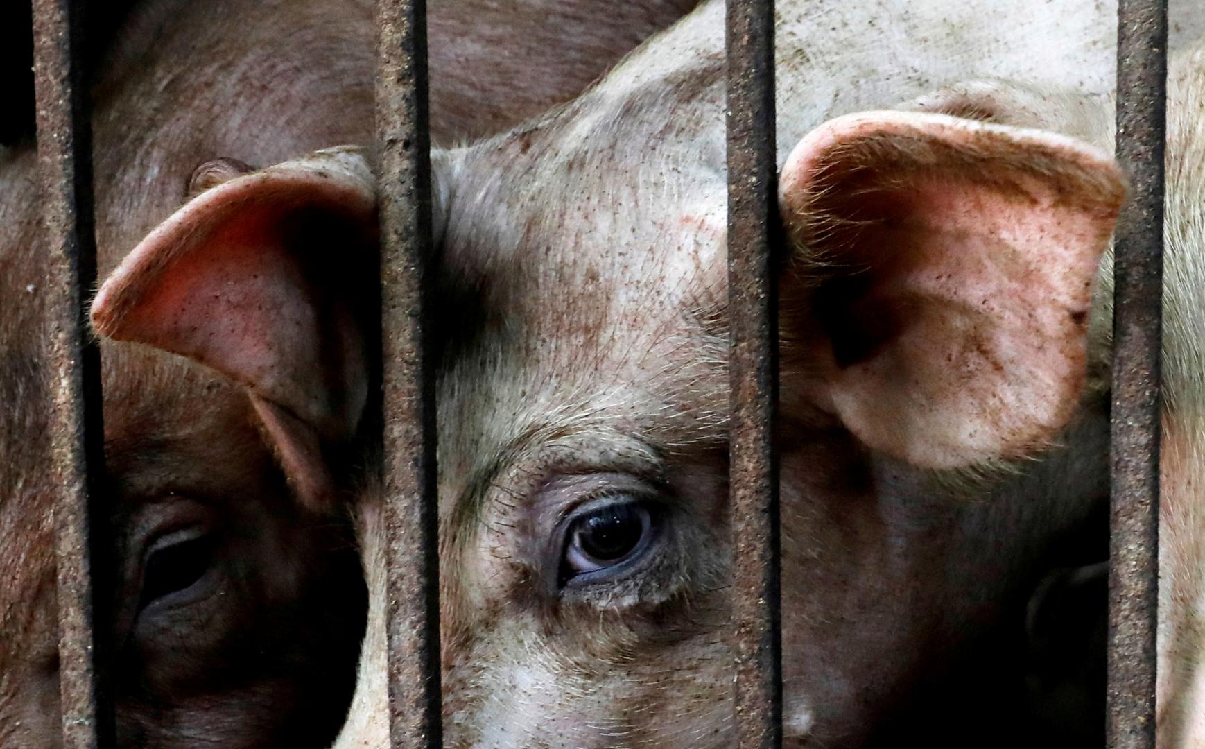 تونس.. إطلاق حملة للقضاء على الخنزير الوحشي في ولاية تطاوين