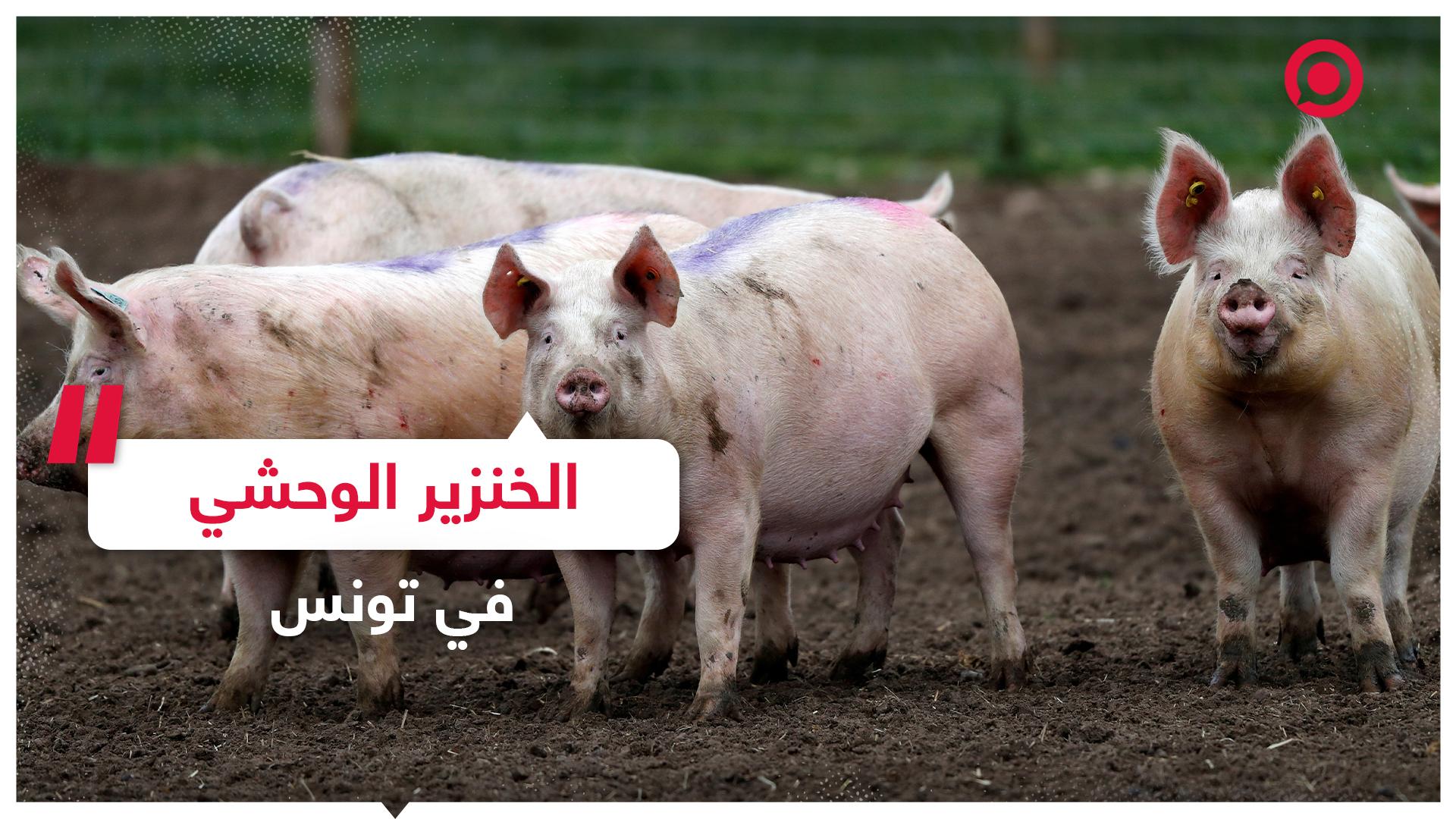 الخنزير الوحشي يجتاح مناطق في تونس