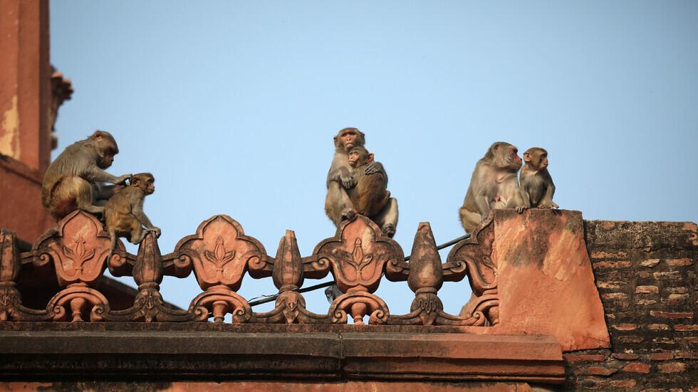 توقيف رجلين في الهند استخدما القردة لسرقة المال