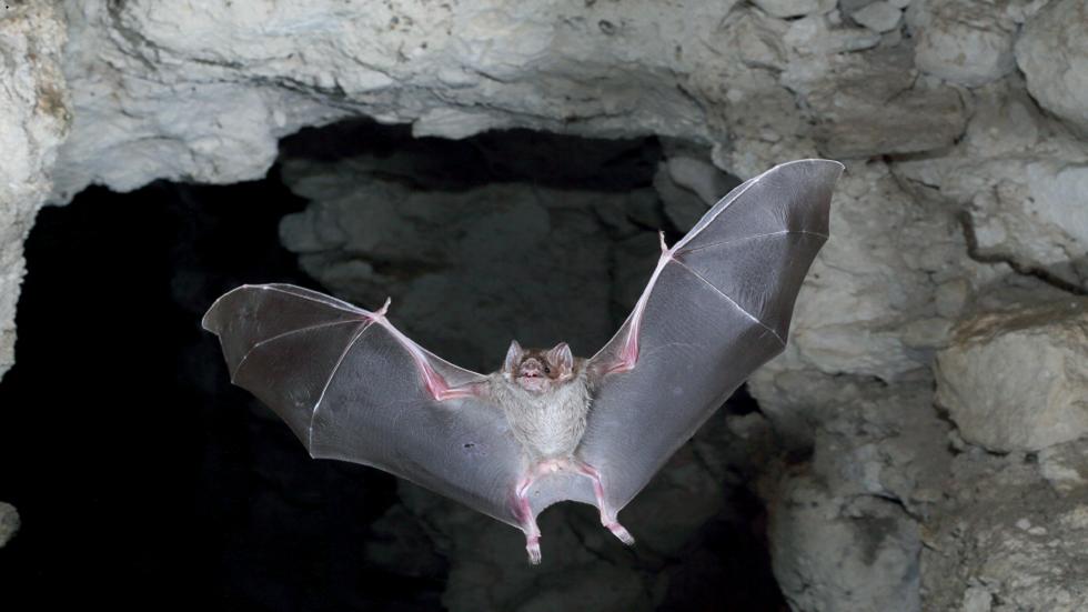 4300 عام من براز الخفافيش من أعماق كهف جامايكي يكشف عن ماضي كوكب الأرض!
