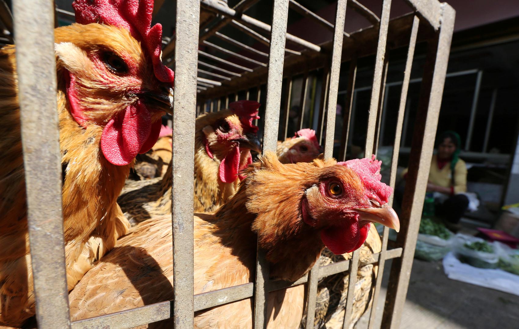 طيور مصابة بالإنفلونزا