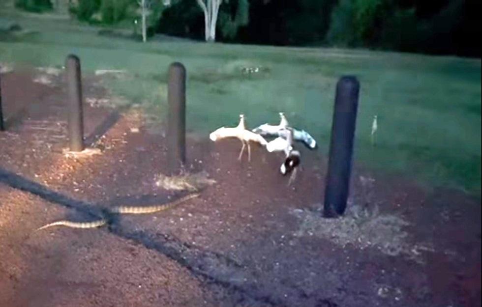 مجموعة من الطيور تقاوم ثعبانا ضخما لحماية صغارها