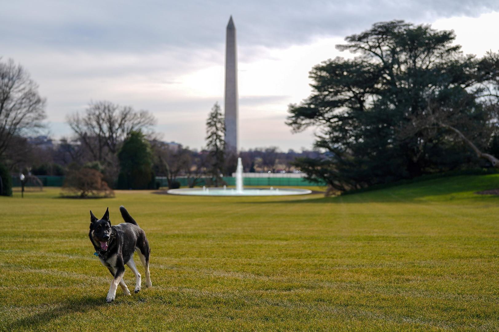 كلب الرئيس الأمريكي، جو بايدن، ميجر.
