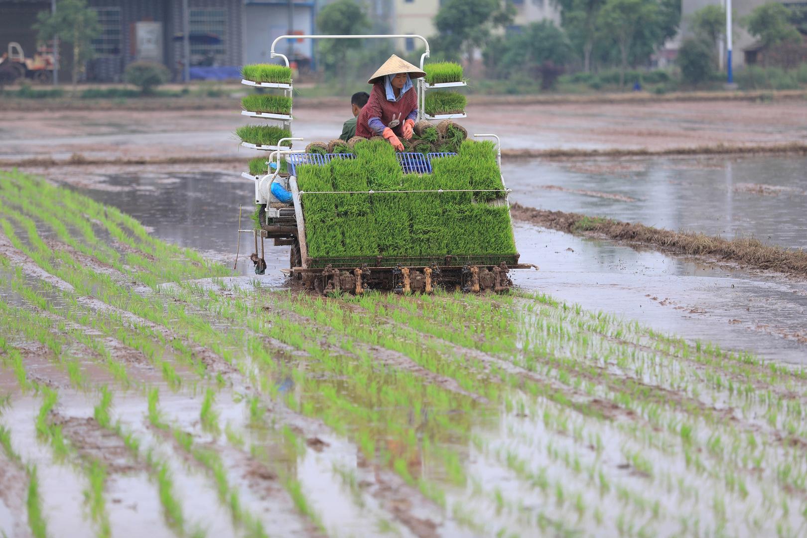 زراعة الأرز في الصين