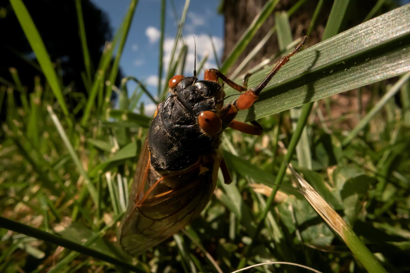 مليارات الحشرات حمراء العينين تخرج بعد 17 عاما قضتها تحت الأرض لتتزاوج وتتكاثر وتموت