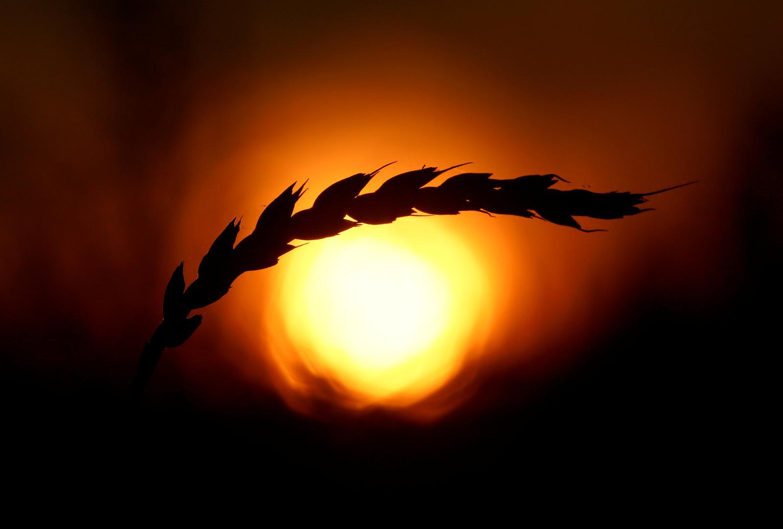 روسيا ستورد مليون طن من القمح إلى سوريا