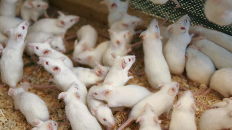 علماء يطيلون عمر الفئران بنسبة 23٪ ويقولون