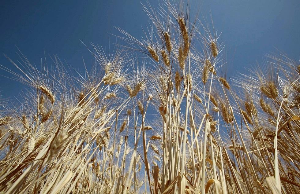 الجزائر.. محصول الحبوب قد يهبط 40% هذا العام