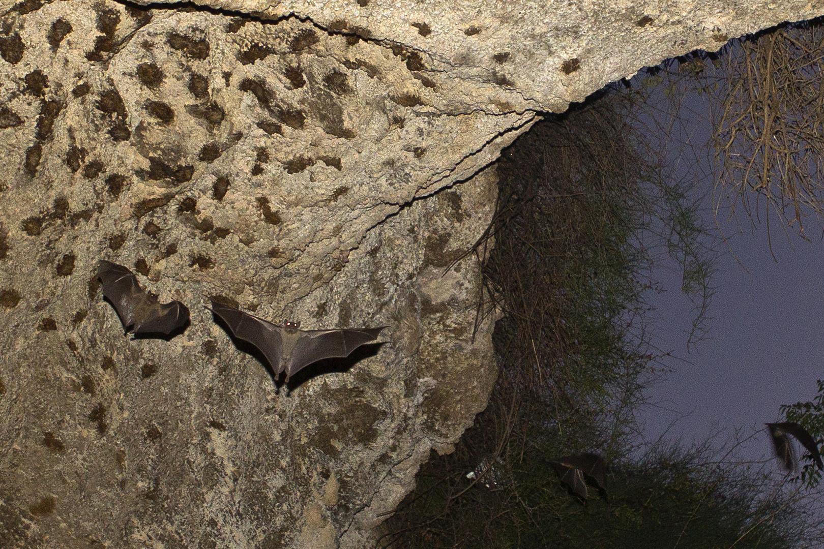 وسط جدل عن منشأ كورونا.. خبراء صينيون يكتشفون فيروسات تاجية مشابهة لدى الخفافيش