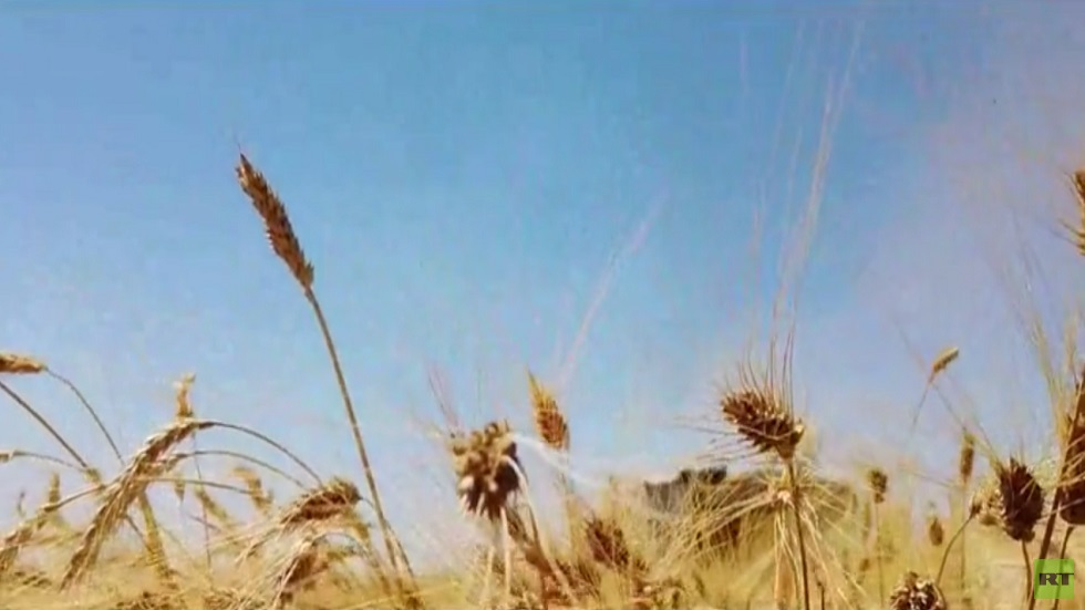 مساعي الحكومة السورية لزيادة إنتاج القمح