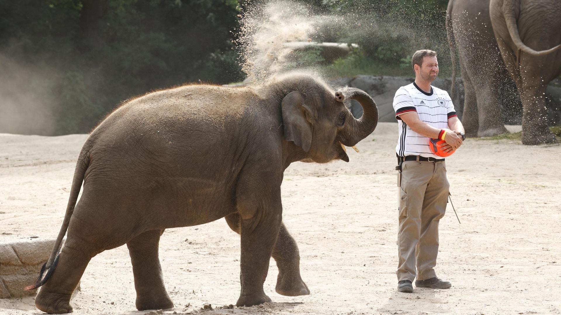 أنثى الفيل