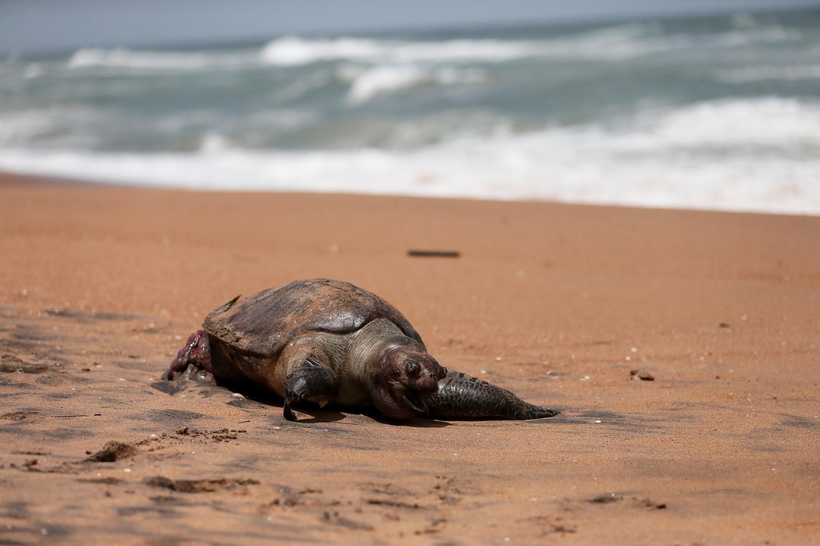 انجراف نحو 200 سلحفاة ودلفين نافقة إلى ساحل سريلانكا بعد غرق سفينة شحن