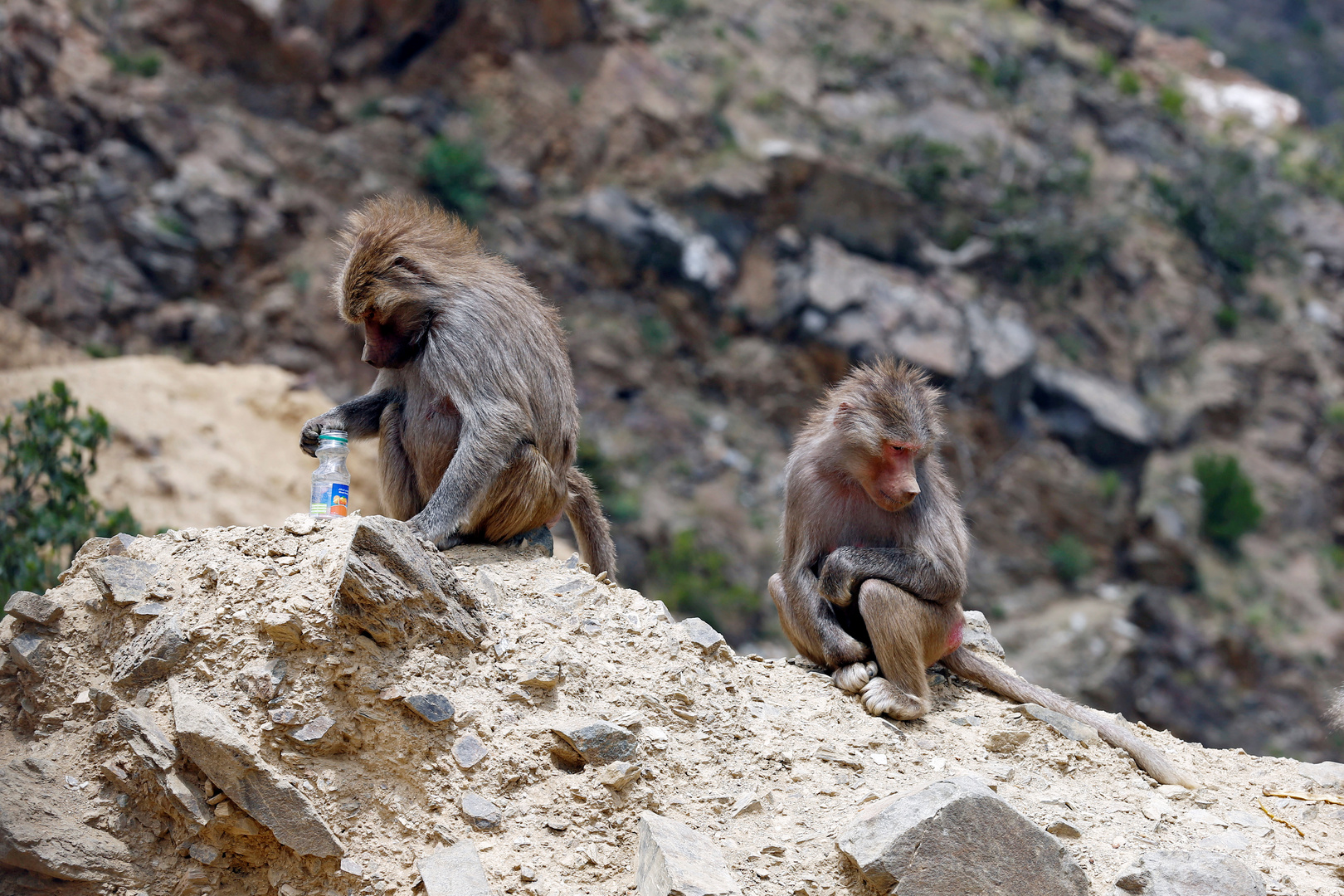 قرود تجلس على جبل في أبها، المملكة العربية السعودية