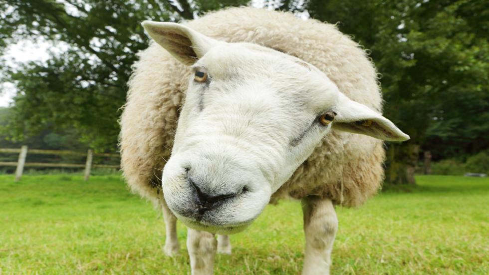 اكتشاف خروف محنط عمره 1600 عام في منجم ملح إيراني بأنسجة محفوظة بشكل مثالي!