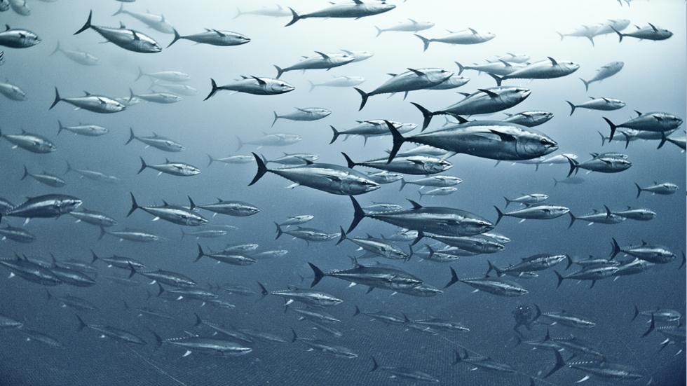 فيديو إطلاق آلاف الأسماك من طائرة و