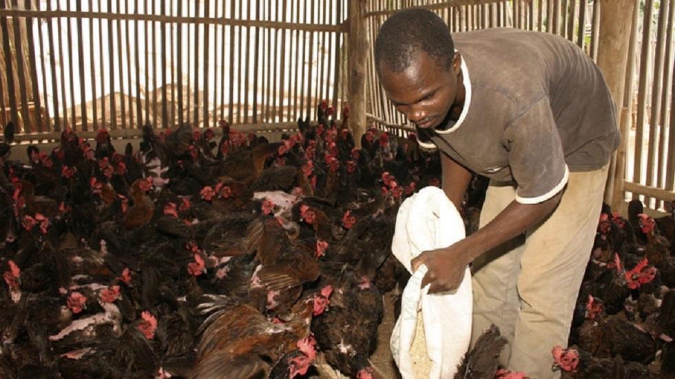 غانا تعدم آلاف طيور الدجاج وتحظر نقلها