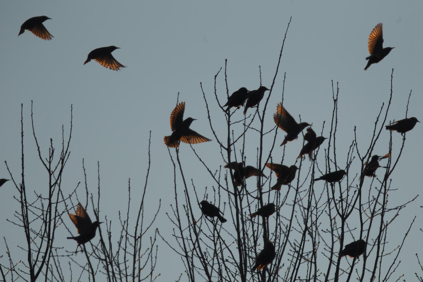 طيور الشحرور ذات القلنسوة الصفراء