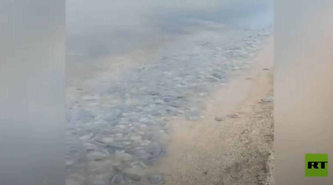 الآلاف من قناديل البحر العملاقة تغزو سواحل روسيا