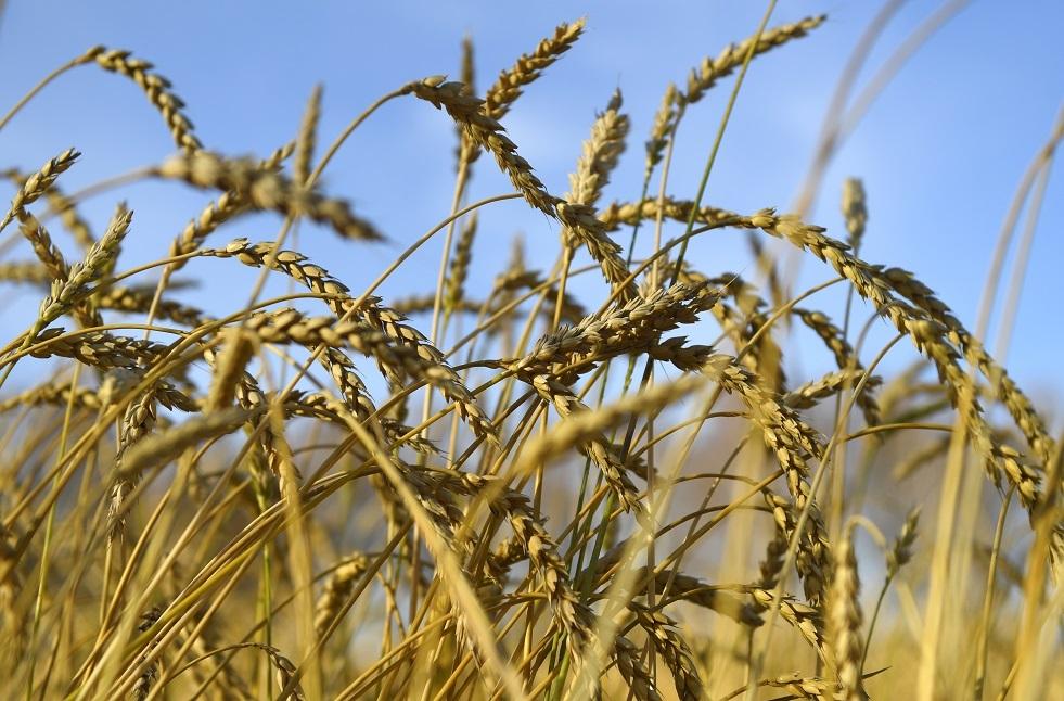 توقعات بمحصول وفير من الحبوب في روسيا