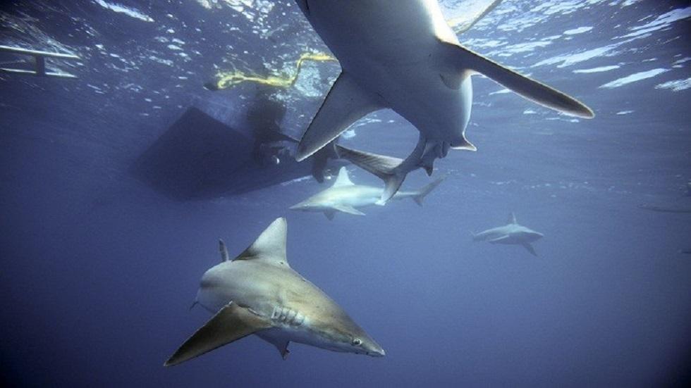 وزارة البيئة المصرية: السواحل الشمالية آمنة من هجوم القرش