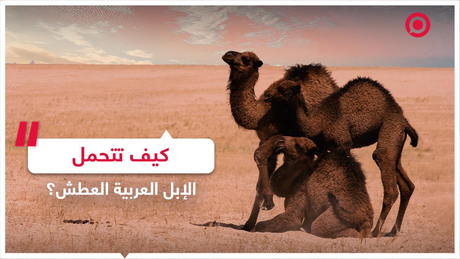 كيف يمكن للجمل العربي البقاء حيا في الصحراء دون مياه لأسابيع؟