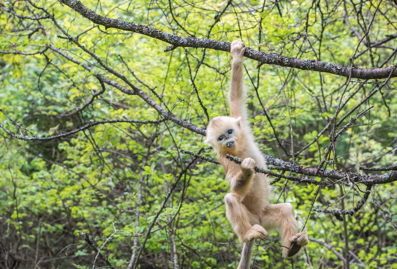 قرد يخطف جروا رهينة لمدة ثلاثة أيام ويحتجزه على رأس شجرة (فيديو)