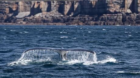 في مشهد نادر.. عشرات الحيتان الحدباء تحاصر قاربا في المحيط (فيديو)