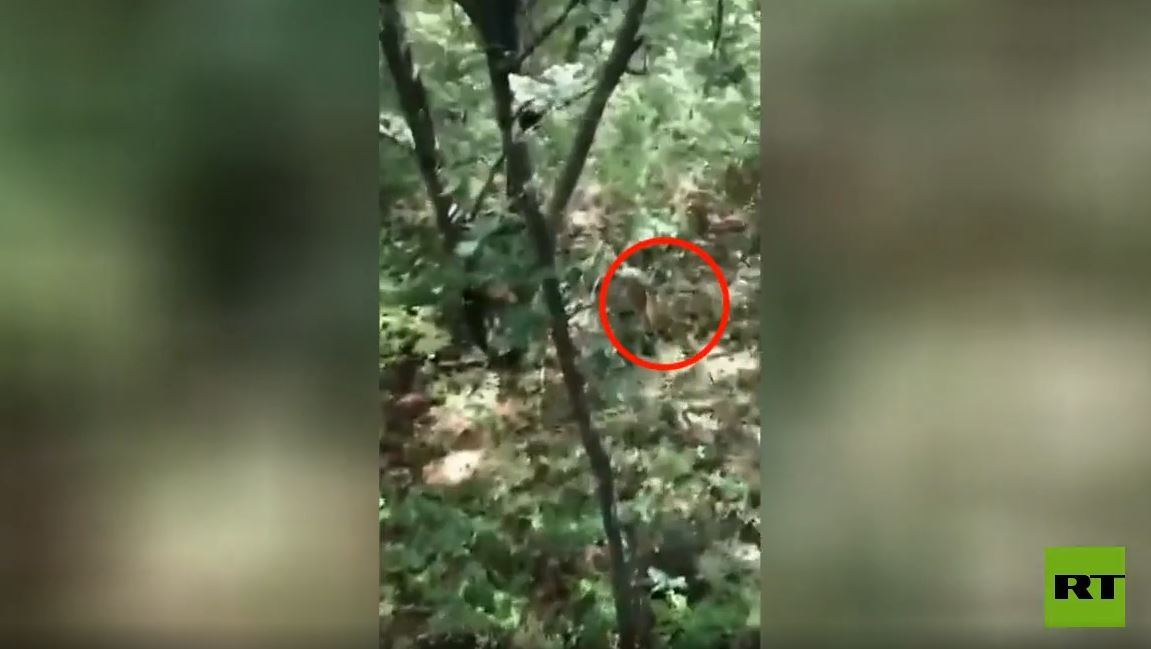 شاهد.. نمر يجبر جامعي الفطر على تسلق الأشجار