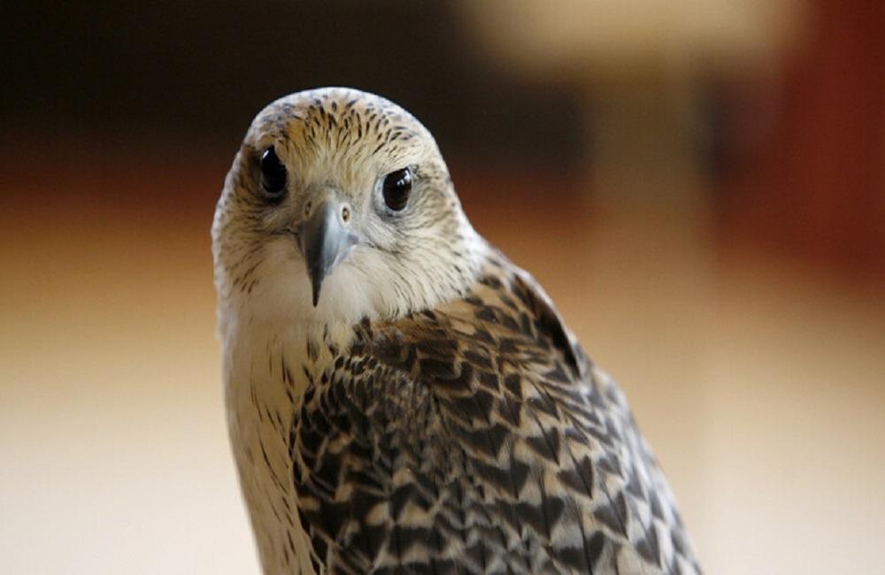 طائر الصقر
