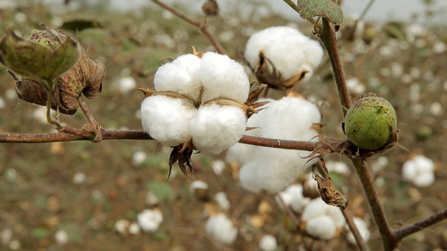 India farmer suicides because of GMO cotton