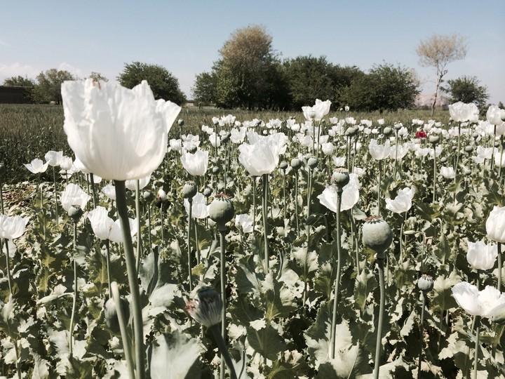 Afghan opium trade