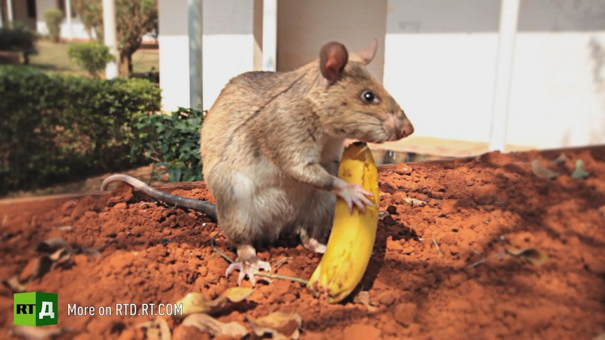 Landmine detector rat Tanzania
