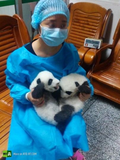 China's panda breeding programme