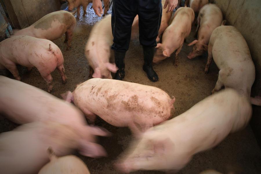 На ферме в Вашингтоне свиней кормят марихуаной