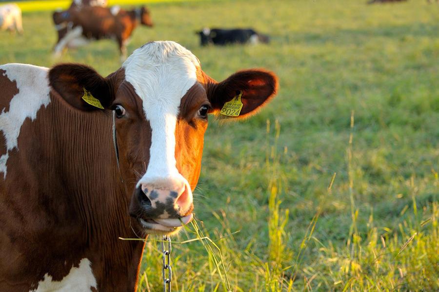 Министерство обороны Великобритании запретит пасти коров рядом с базами, которые использует АНБ