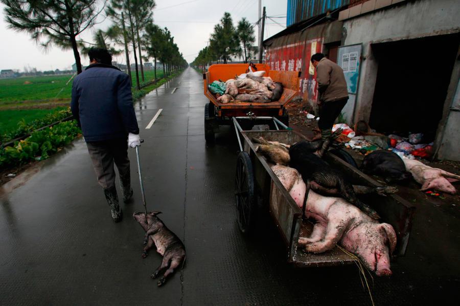 В китайской деревне необъяснимо погибли почти все свиньи и собаки