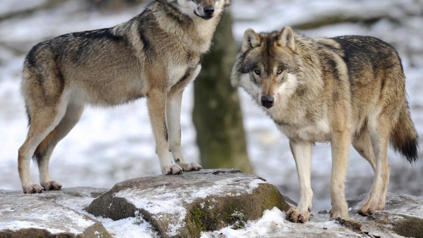 Информация и картинки о волках