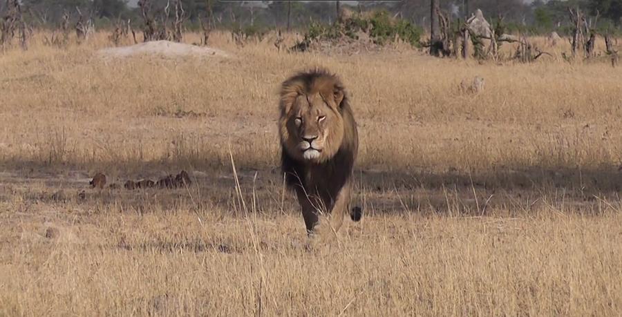 В Зимбабве разыскивают иностранца, убившего самого известного льва Африки