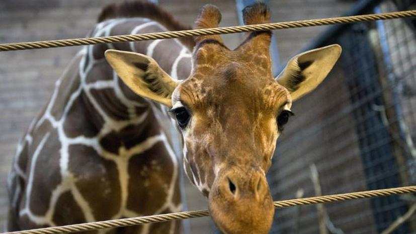 Братья Запашные готовы за собственные средства выкупить жирафа Мариуса