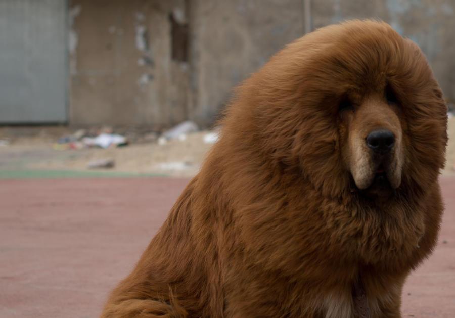 В китайском зоопарке льва подменили собакой