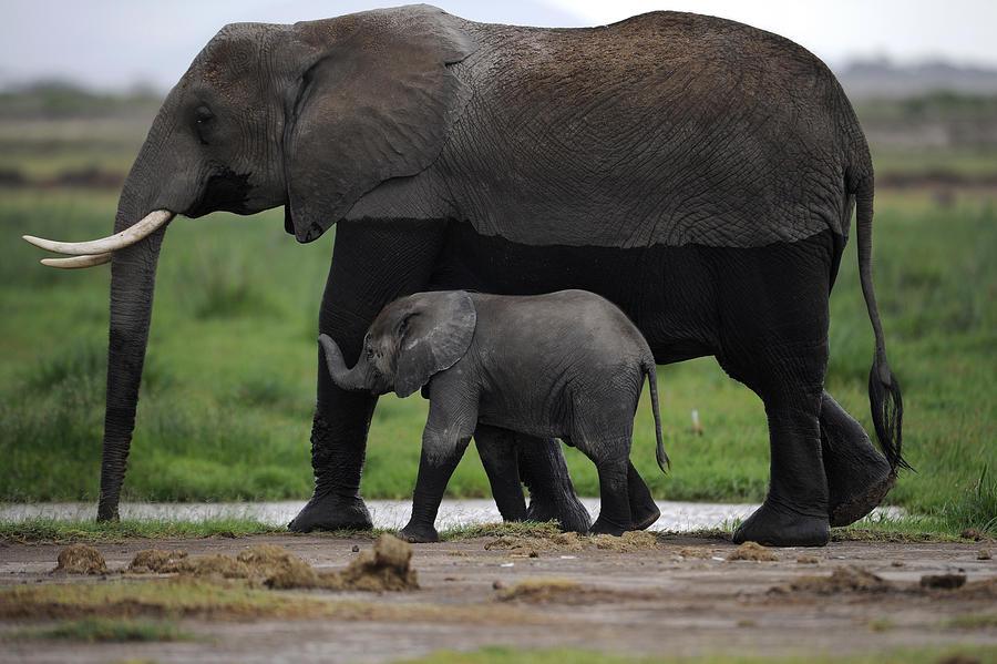 За последние 10 лет вымерло больше половины африканских слонов