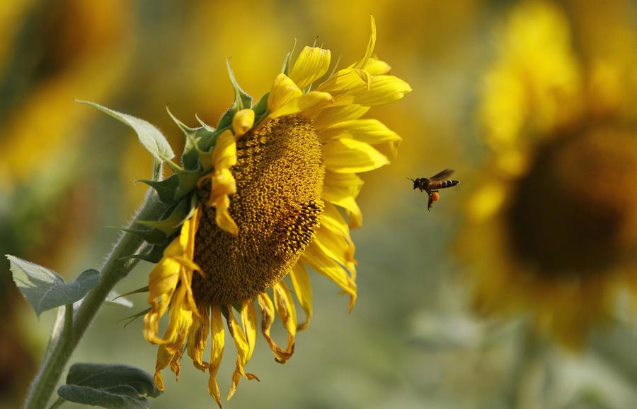 В Европе отказались запретить пестициды, убивающие пчел
