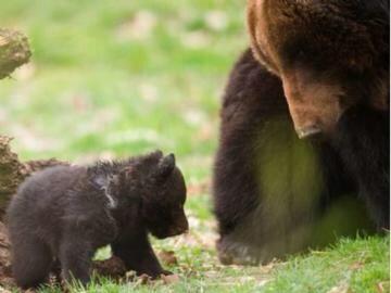 В швейцарском зоопарке убили здорового медвежонка, чтобы научить детей законам природы