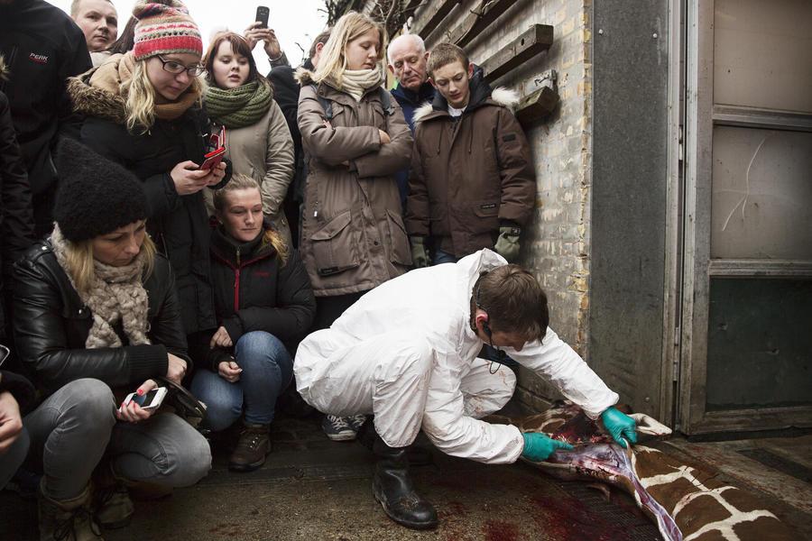 Защитники животных угрожают сотрудникам зоопарка Копенгагена после убийства жирафа Мариуса