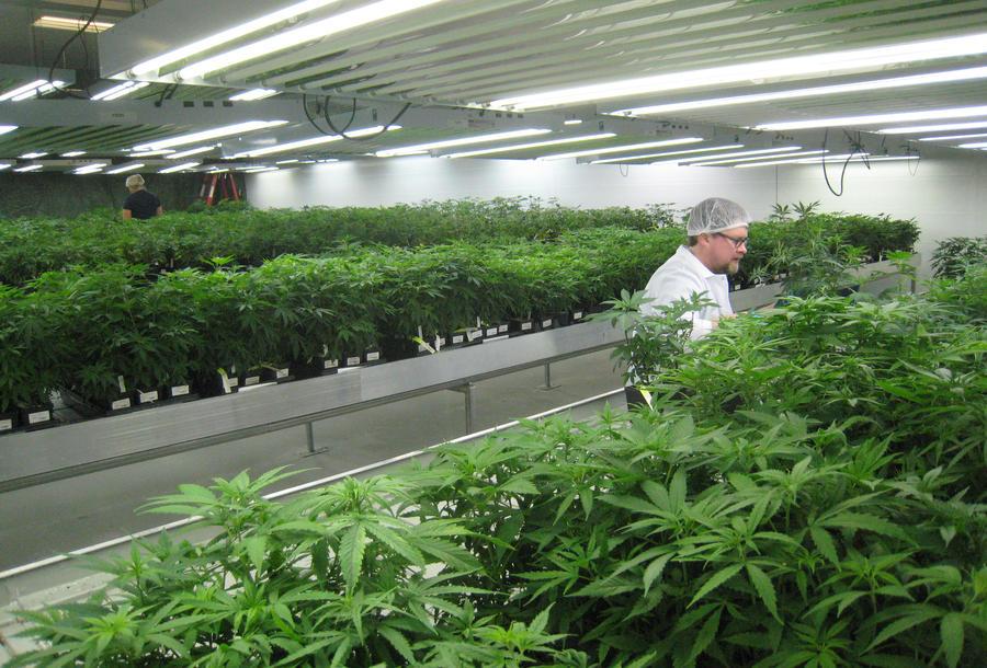 Чилийцам разрешат лечиться марихуаной