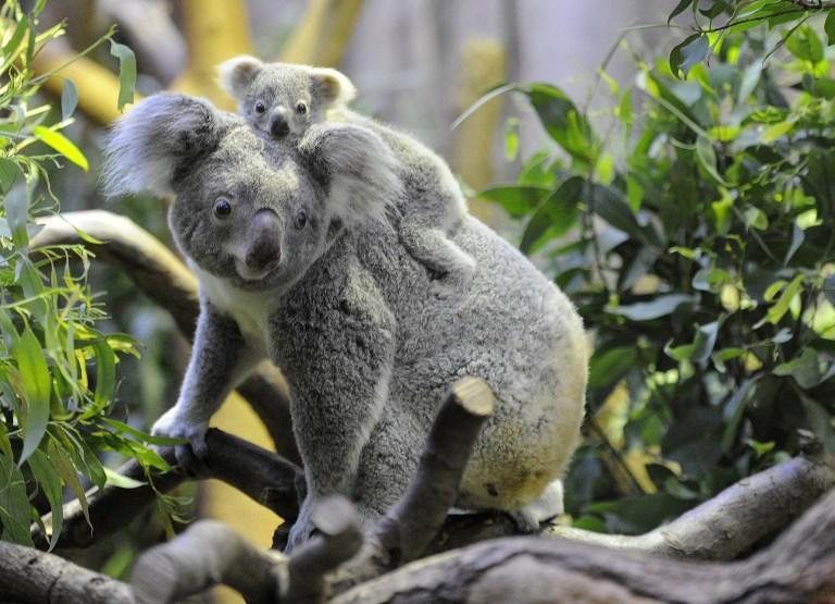 Защитники дикой природы призывают шить варежки для австралийских коал