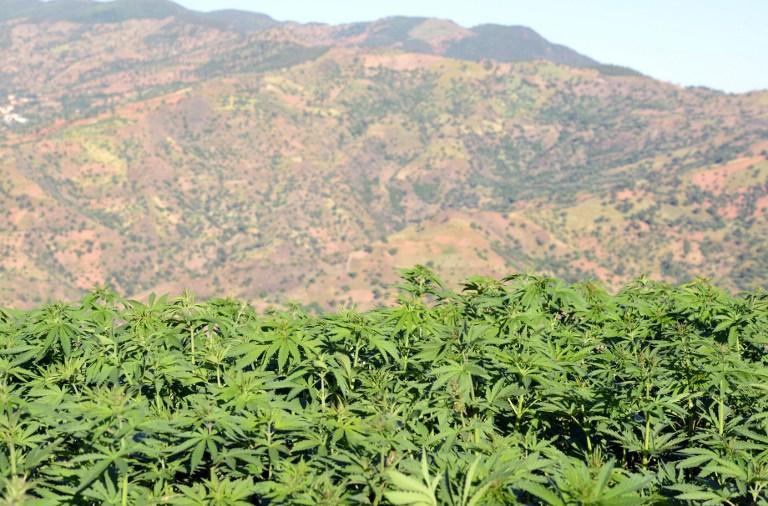 Нигерийские фермеры предпочитают каннабис: всё больше земель в стране засеивается наркотическим растением
